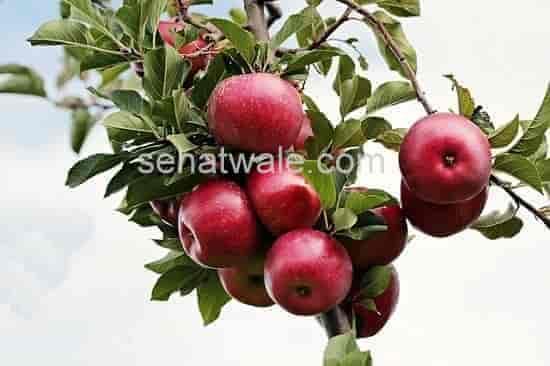 सेब खाने के फायदे - 14 अनोखे और जबरदस्त फायदे,तरीका,सही समय